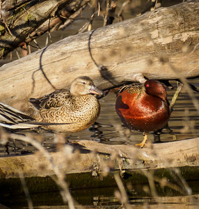 Mr and Mrs Cinnamon Teal