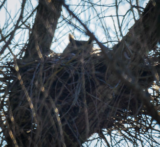 Nest One, Great-horned Owl