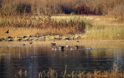 Red-necked Phalaropes and friends