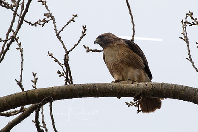 Redtail, one of many!