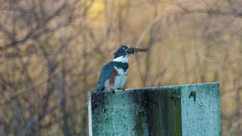 Kingfisher Breadfast
