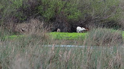 White Deer from a great distance