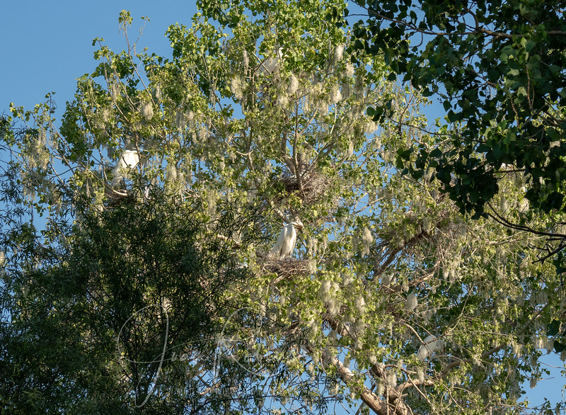 Great Egrets in the Cottonwoods by Kirk