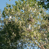 Egrets in the Cottonwoods by Kirk
