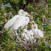 Great Egret family at Gray Lodge Wildlife Refuge