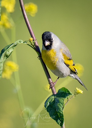 Laurence's Goldfinch, Llano Seco Refuge, Butte County CA