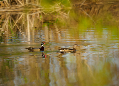 Serene Wood Ducks
