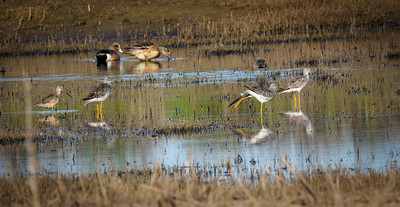 Yellowlegs, Dowitcher, and Widgeon