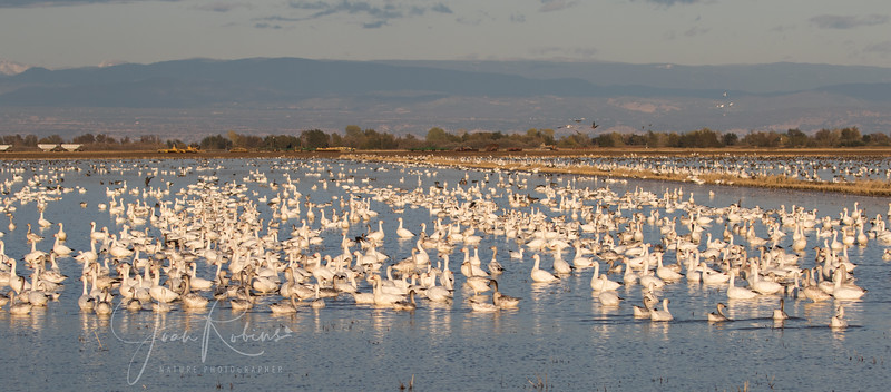 Snow Geese along 7 Mile Road