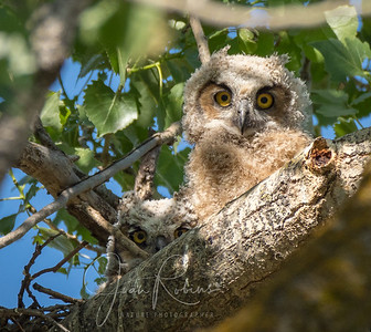 Great-horned Owl Chicks, 7 Mile Rd, Chico CA