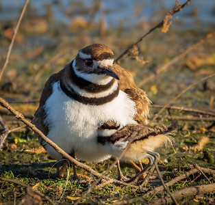 Killdeer chick trying to hide from the photographer, Llano Seco Refuge, near Chico CA