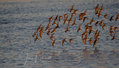 Dunlins at Llano Seco