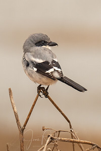 "Sweet ""Butcher Bird"""