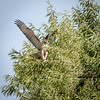 Juvie Red-tailed Hawk