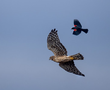 Northern Harrier and Friend