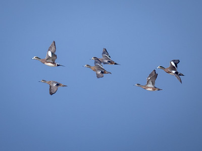 American Wigeons on the wing