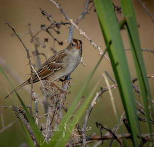 Golden-crowned Sparrow?