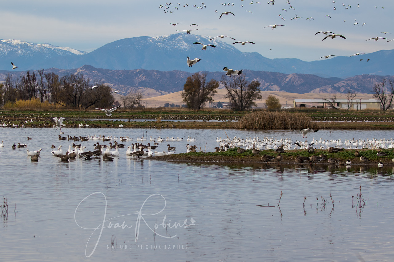 Snow Geese at the Sacramento Wildlife Refuge, Willows CA