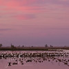 Reflected Sunset on Snow Geese