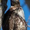 Red-tailed Hawk, Sacramento Wildlife Refuge
