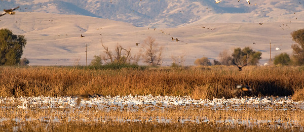 Snow Geese in the distance