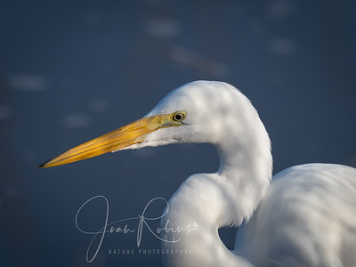 Ordinary (but always elegant) Great Egret at Sacramento Wildlife Refuge