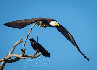 Bald Eagle departing from meeting with Raven