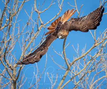 Red-tailed Hawk Descending