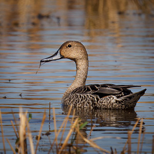 Northern Pintail in Eclipse Plumage