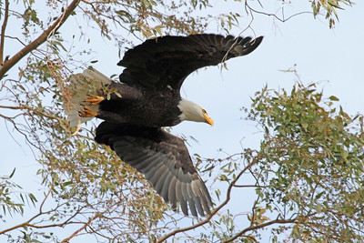 Bald Eagle, Sacramento Wildlife Refuge, Willows, California