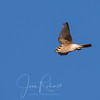 Kestrel (also on Meridian the day before)