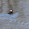 What we thought was a Bufflehead was really a Hooded Merganser!