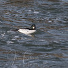 Ring-necked Duck was really a Common Goldeneye!