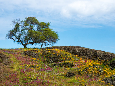 Table Mountain Wildflowers, Oroville CA