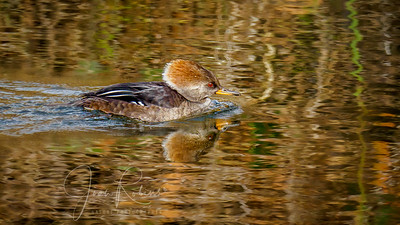Hooded Merganser in Upper Bidwell Park