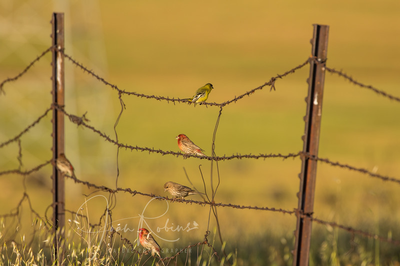 Birds on a Wire, Upper Bidwell Park, Chico CA