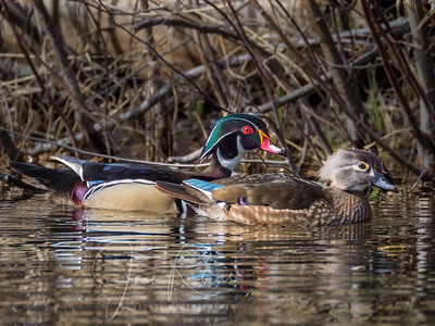 Wood Duck Couple, Big Chico Creek, Upper Bidwell Park, Chico