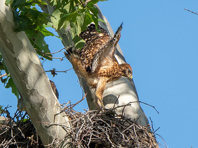 Red-shouldered Hawk chick getting ready to fledge, Upper Bidwell Park, Chico