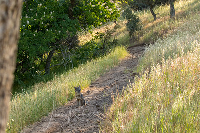 South Rim Trail--saw this little guy and he walked right up to me. Seemed sick, poor thing. Called animal rescue and left a message, but other hikers thought they would just let nature take its course. I doubt that they will search the trails. So sad. They thought it was a young coyote, but I'm pretty sure it's a gray fox.