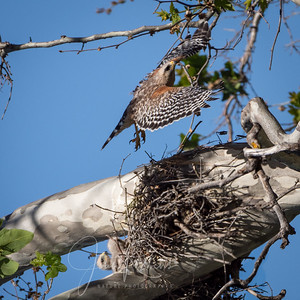 Red-shouldered Hawk and chicks, Upper Bidwell Park, Chico