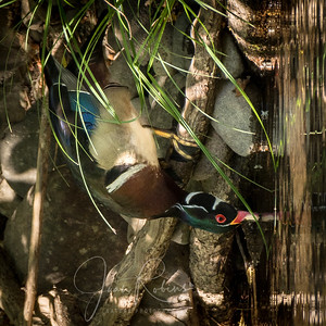 Wood Duck sipping from Big Chico Creek in Bidwell Park, CA