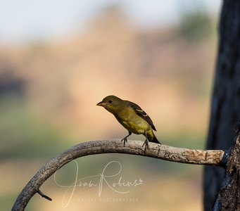 Female Western Tanager?