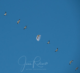 Snow Geese bringing home the moon