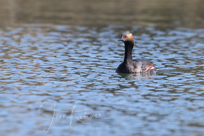 Horned Grebe with distinctive yellow stripe behind the eye