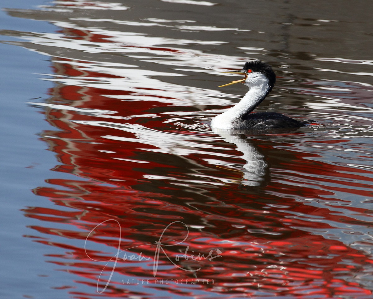 Grebe Reflection, Elkhorn Slough, Moss Landing, California