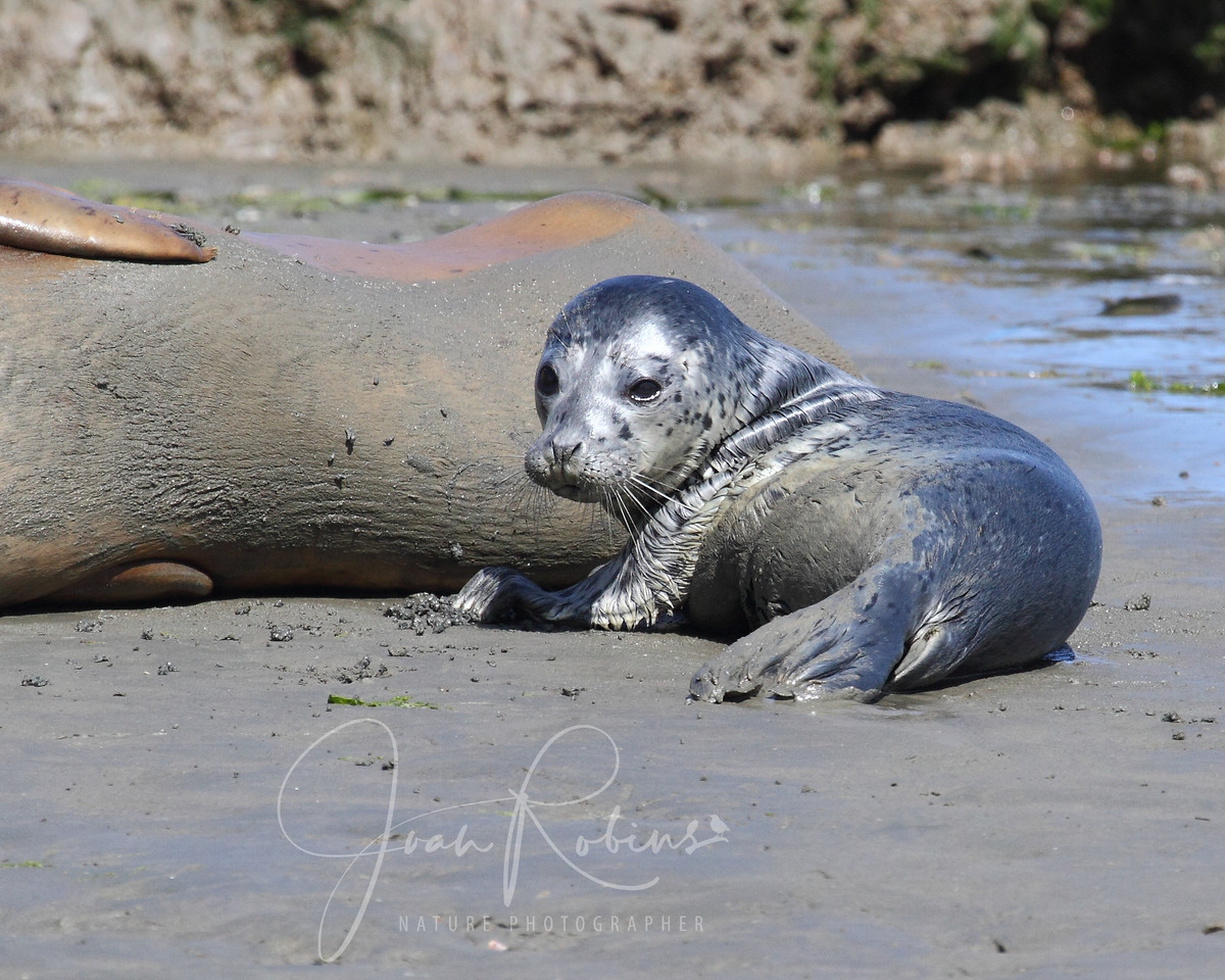 Seal pup, Elkhorn Slough, Moss Landing, California