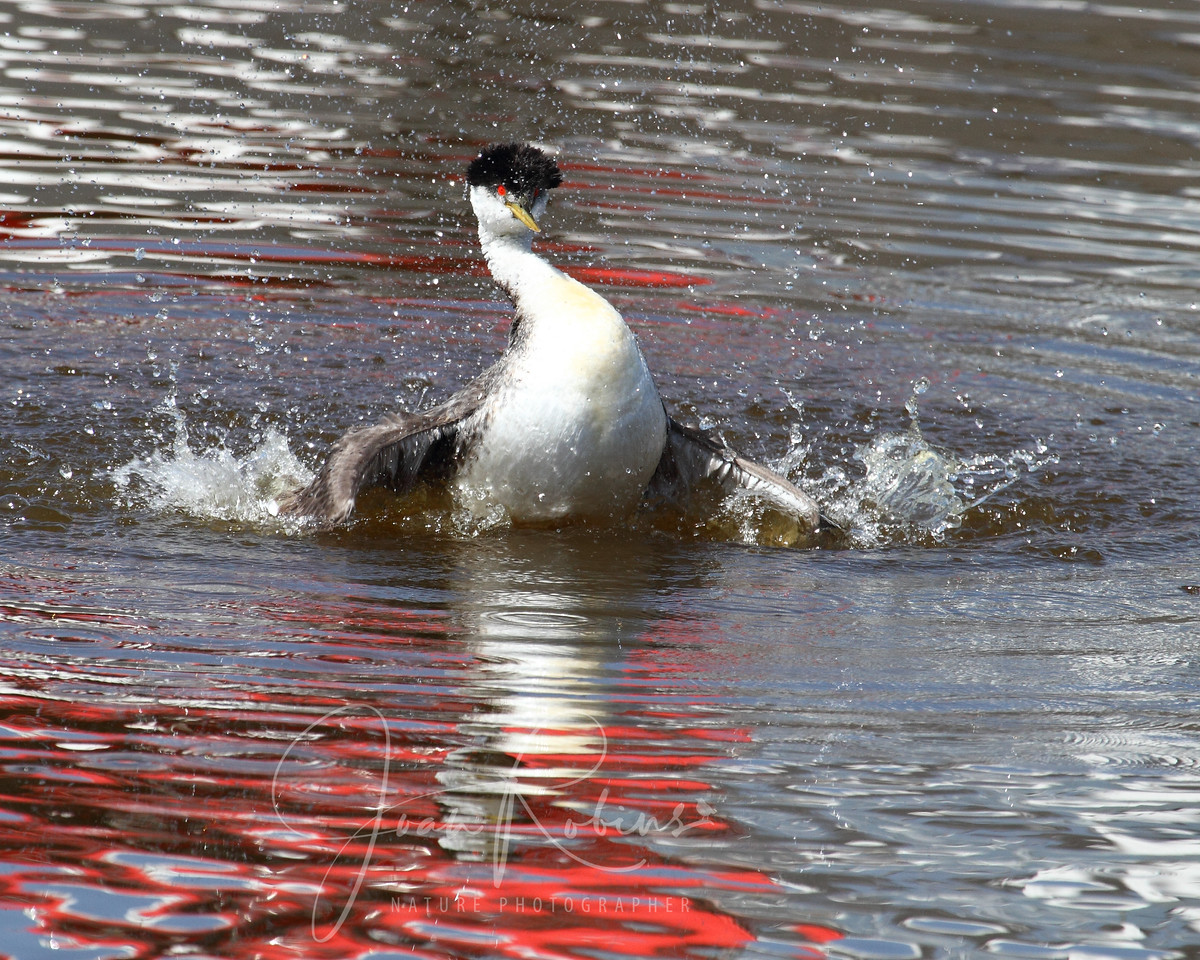 Grebe mating dance, Elkhorn Slough, Moss Landing, California