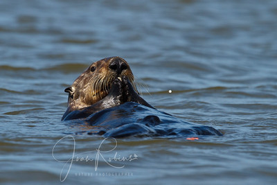 These final pictures were taken from the road. These smart Otters, mom and pup, were diving for dinner and finding an amazing supply of clams and crabs down near the pipes channeling water under the road.