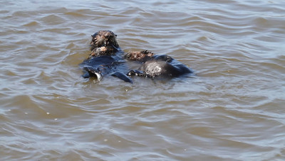 A short clip showing theses happy Otters . . .