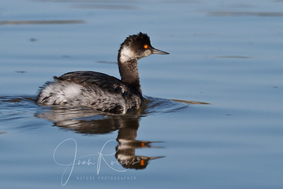 Adult non-breeding Eared Grebe.